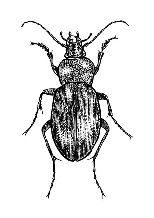 Bug illustration, engraving, drawing, ink