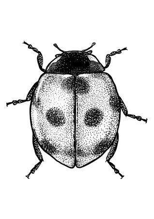 Ladybug illustration, engraving, drawing, ink