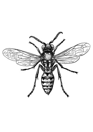 Wasp illustration, engraving, drawing, ink Illustration