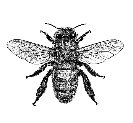 蜂のイラスト、彫刻、描画、インク
