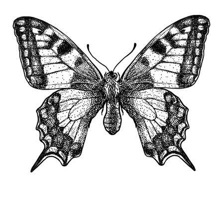 Butterfly illustration, engraving, drawing, ink Illustration