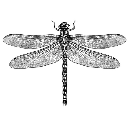 Dragonfly illustration, engraving, drawing, ink Illustration