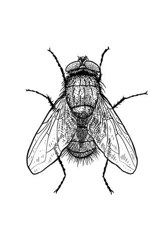 Ilustracja mucha, grawerowanie, rysunek, atrament Ilustracje wektorowe