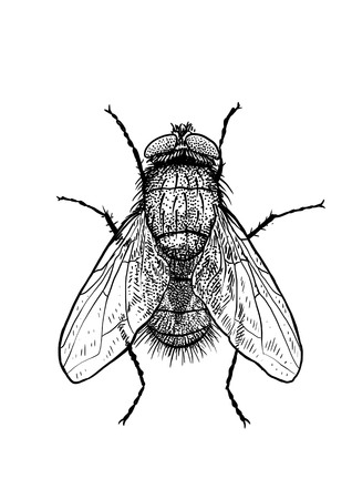Fly illustration, engraving, drawing, ink