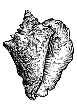 Koningin conch illustratie, tekening, gravure, inkt, realistisch