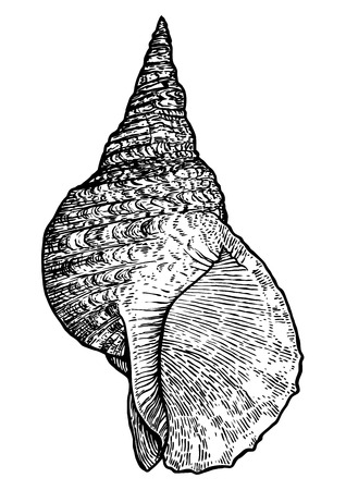 cockle: Tritons trumpet, shell illustration, drawing, engraving, ink, realistic Illustration