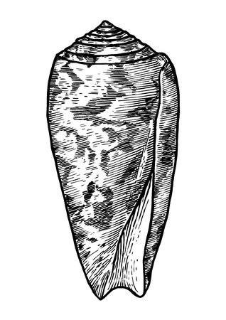 cone shell: Striata cone shell illustration, drawing, engraving, ink, realistic