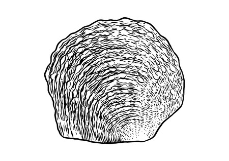 oyster shell: Pearl oyster shell illustration, drawing, engraving, ink, realistic