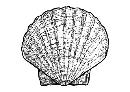 scallops clam shell illustration drawing engraving ink realistic vector