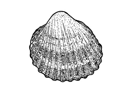 cockle: Cockle, shell illustration, drawing, engraving, ink, realistic