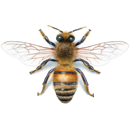蜂イラスト、水彩画、ドローイング、インク、現実的です 写真素材