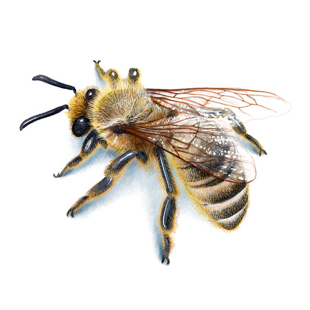 Bee Illustration, Watercolour, drawing, ink, realistic