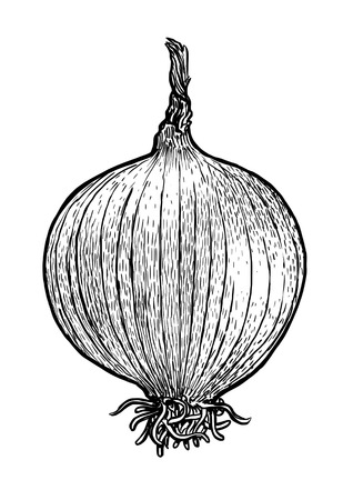 botanical gardens: Onion bulb illustration, drawing, engraving, line art, vegetable, vector Illustration