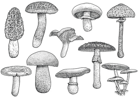 mycology: Group of mushroom illustration, drawing, engraving, vector, line