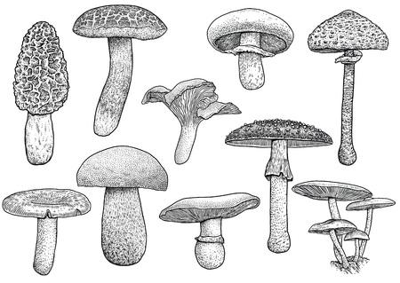 morel: Group of mushroom illustration, drawing, engraving, vector, line