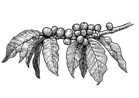 Kaffeepflanzeabbildung auf einem weißen Hintergrund Standard-Bild - 74125616