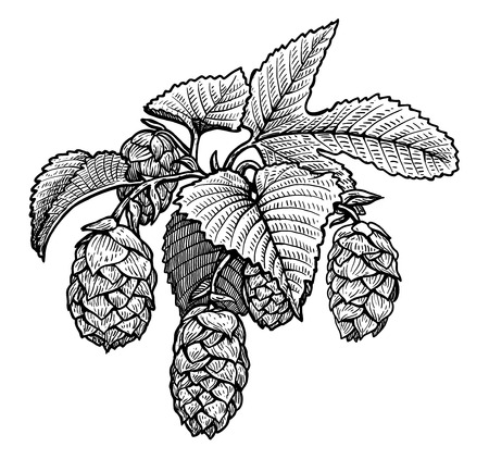Hop illustration, drawing, engraving, ink, line art, vector
