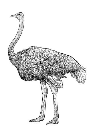 Ostrich illustration, drawing, engraving, ink, line art, vector