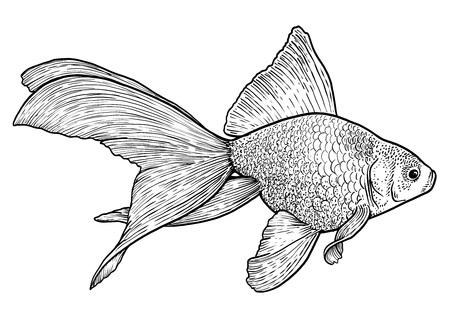 Goldfish illustration, drawing, engraving, ink, line art, vector Stock Vector - 92871666