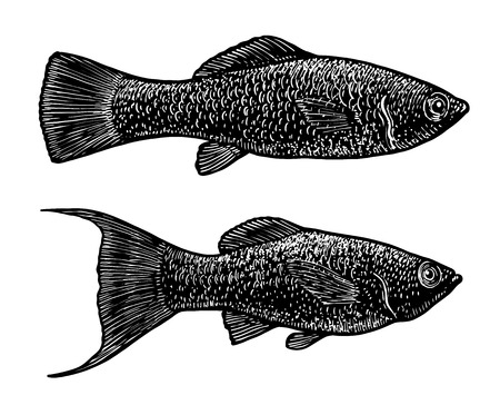 Black Molly illustration, drawing, engraving, ink, line art, vector Illustration