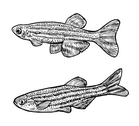 Zebrafish illustration, drawing, engraving, ink, line art, vector illustration.