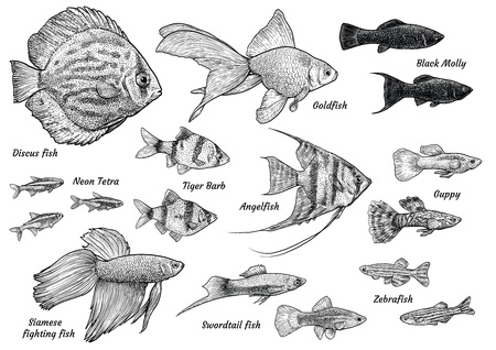 Collection of aquarium fish illustration, drawing, engraving, ink, line art, vector.