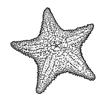 Starfish illustration, drawing, engraving, ink, line art, vector