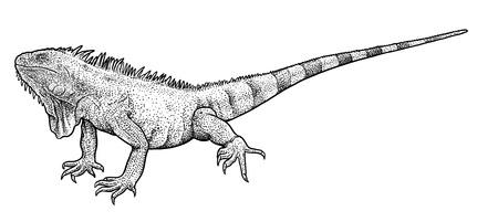 Leguaan illustratie