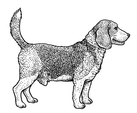 Beagle illustration, drawing, engraving, ink, line art, vector