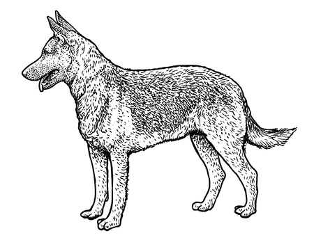 German shepherd illustration, drawing, engraving, ink, line art, vector
