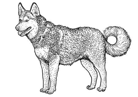Ilustración de husky siberiano, dibujo, grabado, tinta, arte lineal, vector