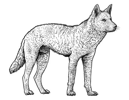 Dingo hand-drawn Vector illustration isolated on white background.