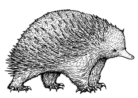 Echidna hand-drawn Vector illustration isolated on white background.