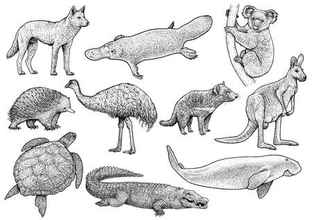 Illustrazione disegnata a mano di vettore della raccolta animale australiana isolata su fondo bianco.