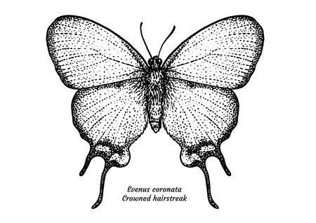 Crowned hairstreak vector illustration Illustration