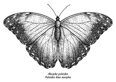 Morpho peleides, Peleides blue morpho, illustration, drawing, engraving, ink, line art, vector Illustration