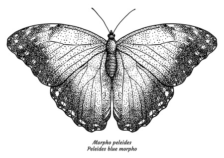 Morpho peleides, Peleides blue morpho, illustration, drawing, engraving, ink, line art, vector 向量圖像