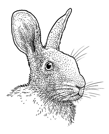 Rabbit head portrait illustration engraving ink line art vector