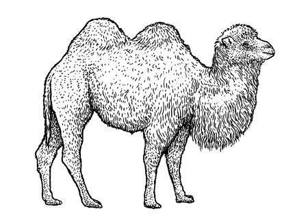 Bactrian camel illustration, engraving, ink, line art, vector
