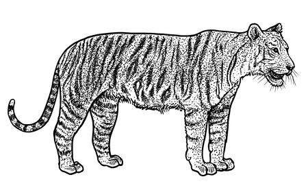 Bengal tiger illustration, engraving, ink, line art, vector