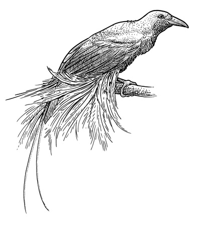 Lesser Bird of Paradise illustration, engraving, ink, line art, vector