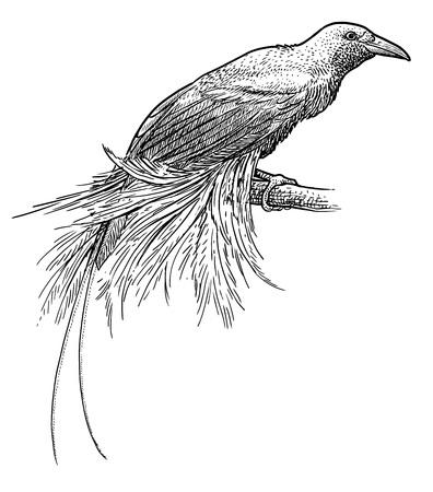 Lesser Bird of Paradise illustration, gravure, encre, dessin au trait, vecteur