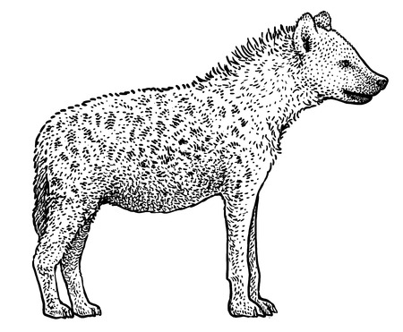 Spotted hyena (Crocuta crocuta) illustration, engraving, ink, line art, vector