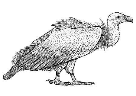 Vulture illustration drawing engraving ink line art vector