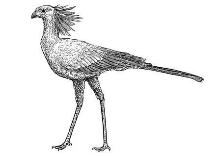 Secretaris vogel illustratie tekening gravure inkt lijn kunst vector