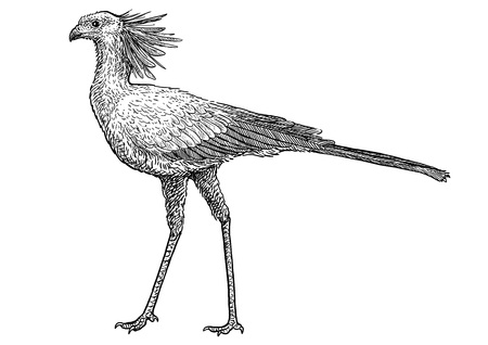 Secretary bird illustration drawing engraving ink line art vector