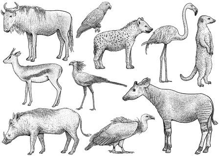 Colección de animales africanos, dibujo, grabado, tinta, arte lineal, vector