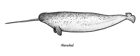 Narwhal illustration drawing engraving ink line art vector Ilustração