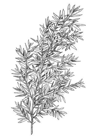 Bamboo branch illustration engraving ink line art vector Vetores