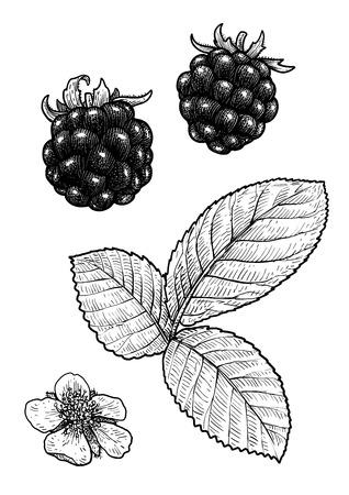 Blackberry illustration drawing engraving ink line art vector Ilustração